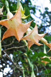datura-plante-hallucinogene