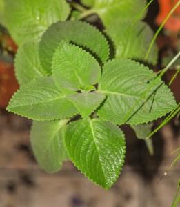 plectranthus-amboinicus