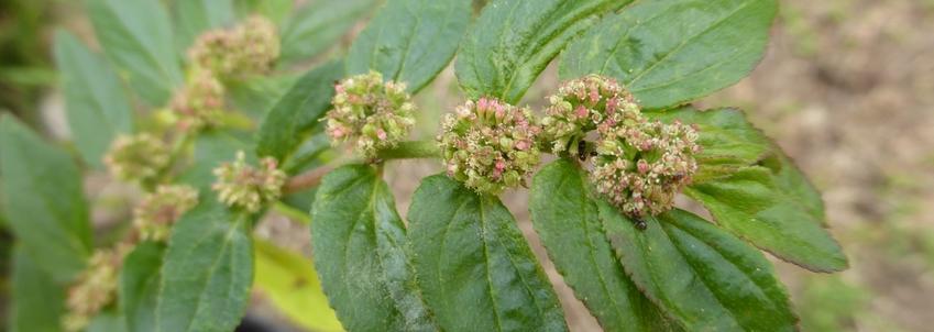 Je m'appelle Weed, Asthma Weed (Euphorbia hirta, malnommée)