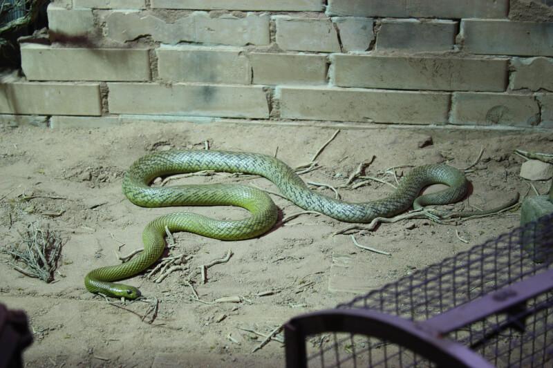 Le serpent le plus venimeux du monde à Aquatis
