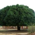 La Quina o también conocida como quinquina, es el árbol nacional de Perú, pero se lo encuentra también en otras zonas de América, África y Asia. Hay 17 especies de árbol de quina pero el tipo más abundante es el que tiene como nombre científico Cinchona pubescens y pertenece a la familia de las rubiáceas.