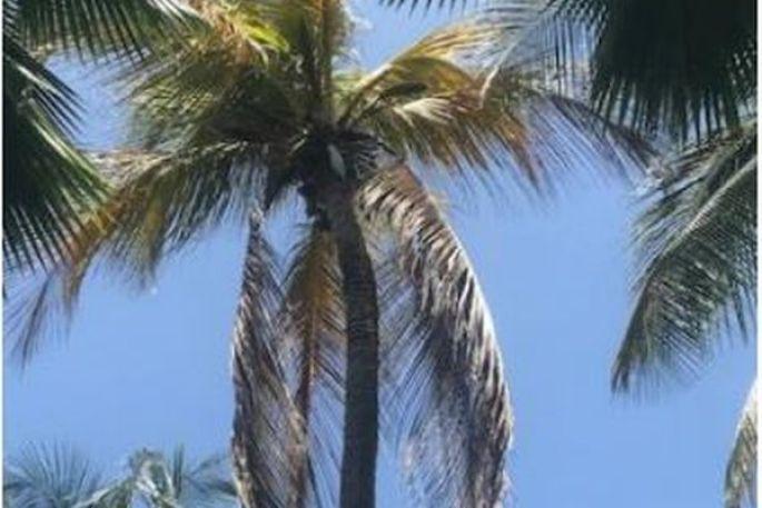 Palmier infecté par le phytoplasme