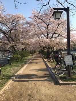 Nagaoka Tenmangu Cherry Blossom