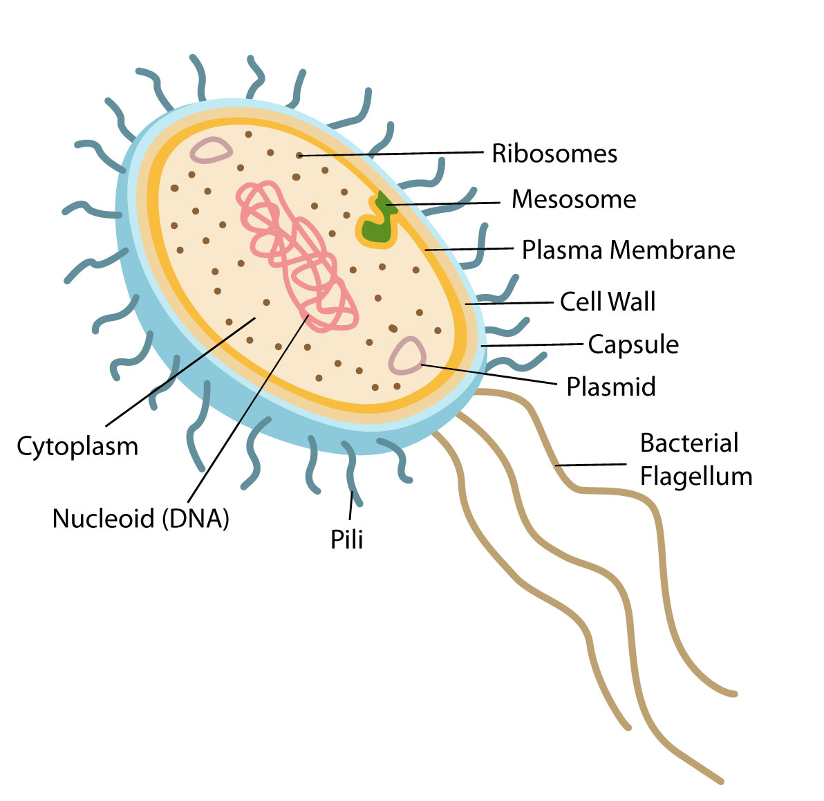 Structure And Function Of Prokaryotic Cells