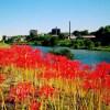岡崎市乙川沿いの彼岸花:開花状況