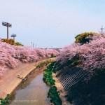 名古屋で有名なお花見スポット「山崎川の桜」を見てきました。