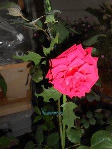 2014-06-19-hakiri-rose02