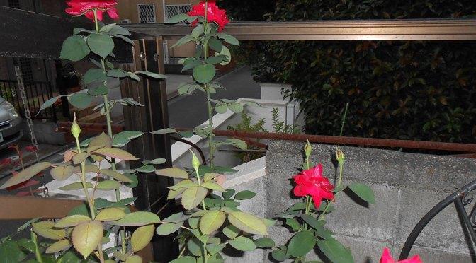 空高く、四季咲きの 赤いバラ が咲きました