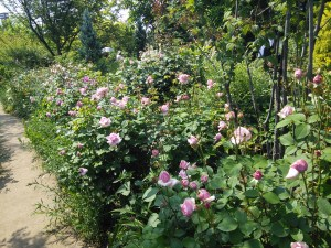 yokohama-english-garden-blue-roses2