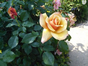 yokohama-english-garden-yellow-rose
