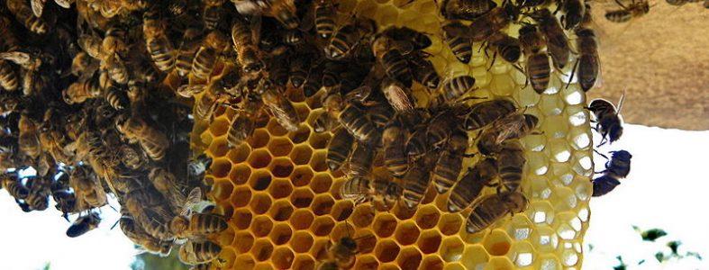 Le déclin de abeilles sauvages