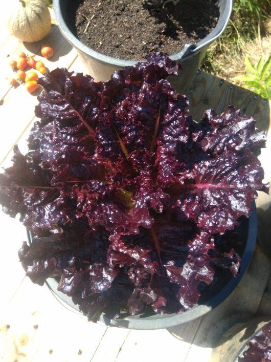 Lettuce Bulkkot