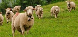 pequeno-rebano-de-ovejas-pastando-705