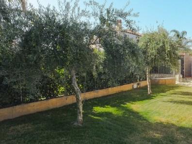 drzewka oliwne w naszym ogródku