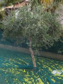 zbieramy oliwki