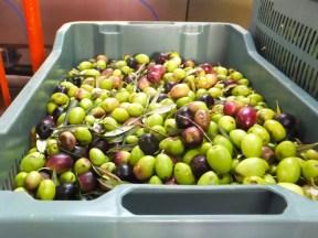 kosz oliwek