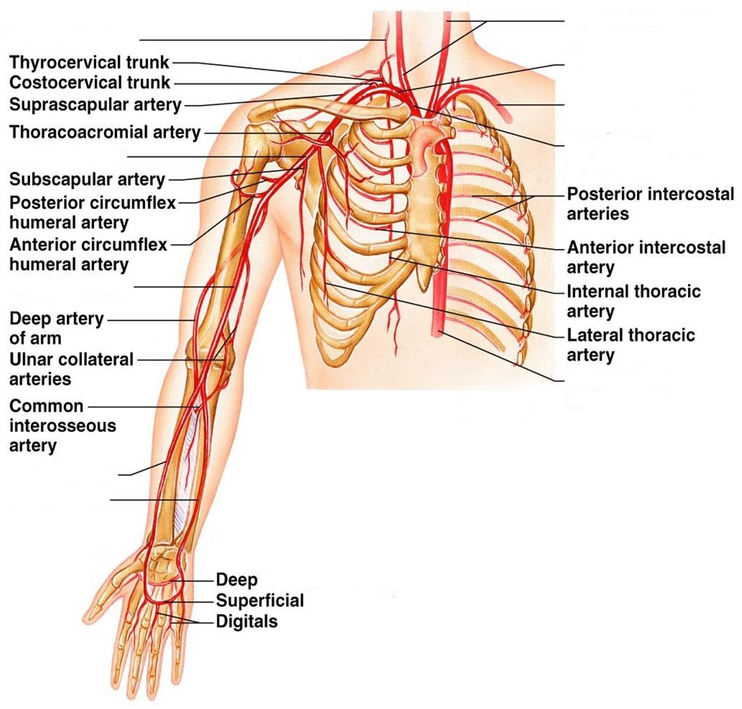 Labeled Diagram Of Arm Veins Anatomy Of The Arm Veins Anatomy Of Veins In Arm Human Anatomy