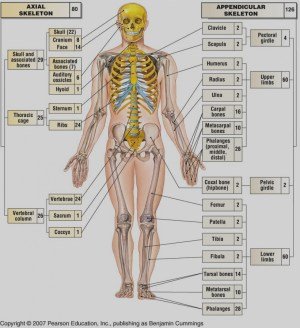 axial skeleton labeling quiz 160843  Made By Creative Label