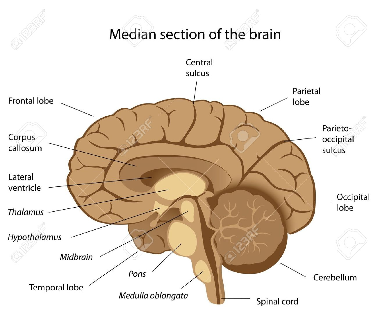Brain Labeling Game Mc Ch13 Fig01