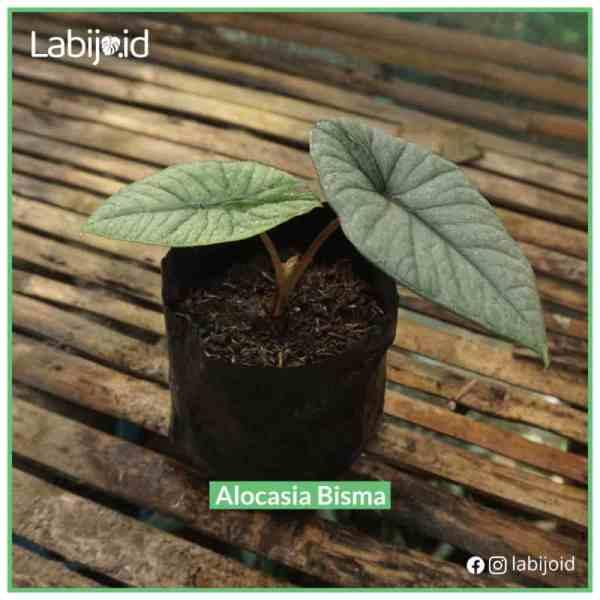 Rare limited stock Alocasia Bisma