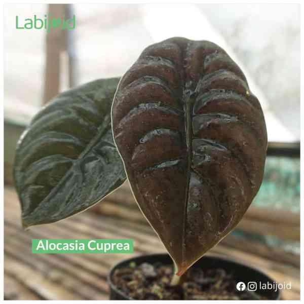 Fabulous Alocasia Cuprea for sale