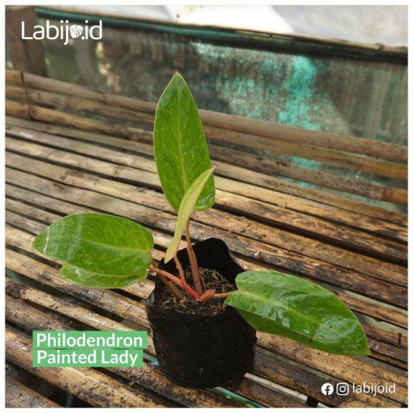 Pretty Philodendron Painted Lady