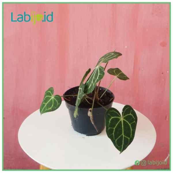 Anthurium clarinervium for sale