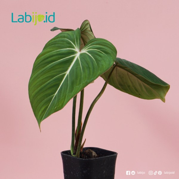 Philodendron Gloriosum for sale