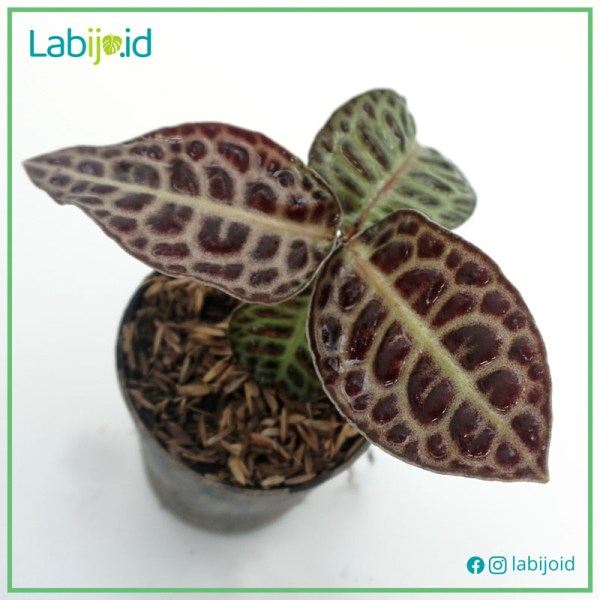Limited stock of Ardisia sp. Turtleback