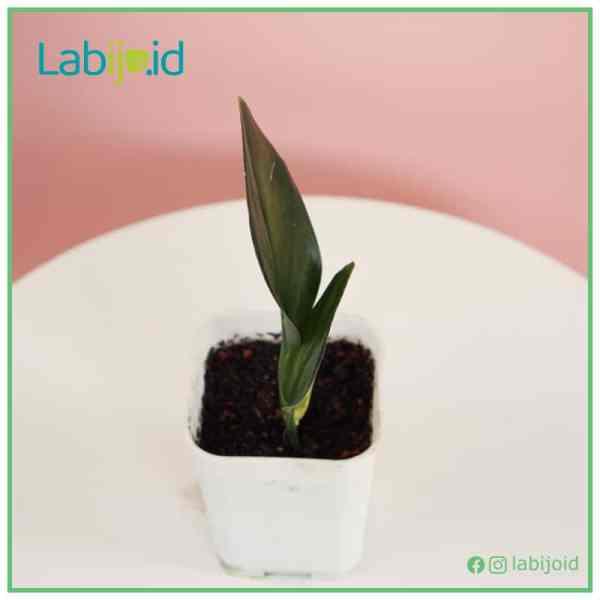 Scindapsus Treubii Dark Form for sale