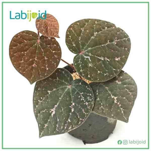 Piper Porphyrophyllum for sale