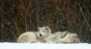 Loups gris couchés