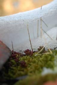 Petite succulente sur les toits, cachée sous la glace