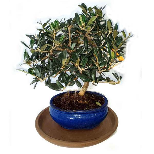 bonsai olivo maceta azul