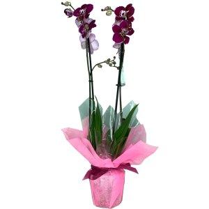 planta-orquidea-cardenal-02