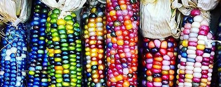 Maïs multicolore