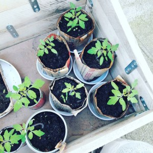 Plants de tomates la box a planter