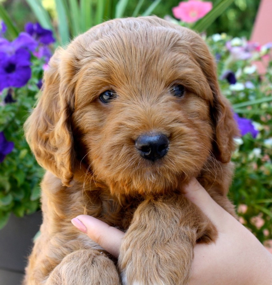 Labradoodle Dog Home Training best age to neuter a labradoodle f1b goldendoodle