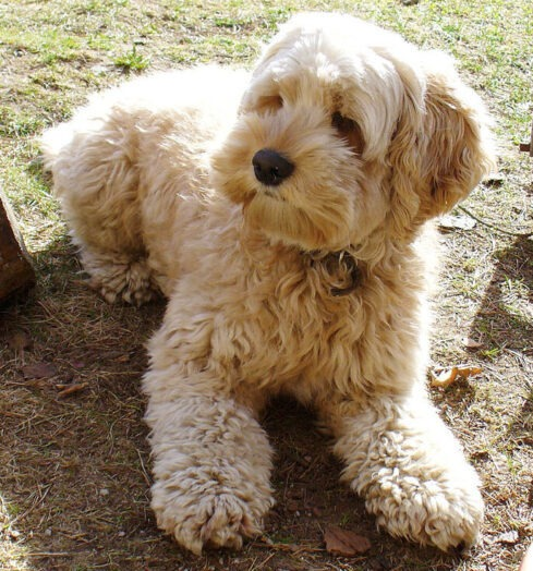 F1 Labradoodle clicker training English Labradoodle Growth and Lifespan