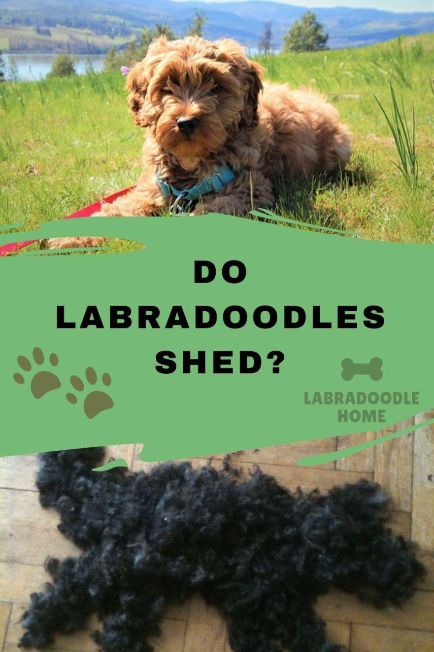 LABRADOODLE SHEDDING DO LABRADOODLES SHED