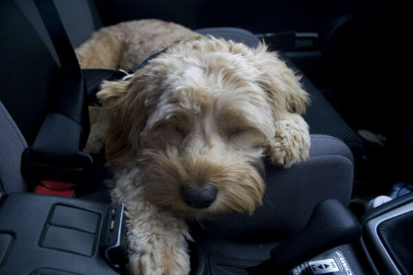 Labradoodle Scared of car rides can labradoodles eat chicken can dogs eat cinnamon graham crackers Treats for puppies under 3 months Labradoodle Joint Problems