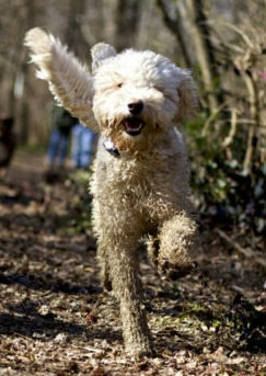 Why does my labradoodle smell training labradoodle training tips