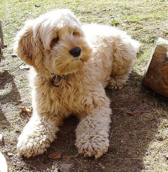 Teaching my labradoodle to shake training biting problem training biting problem can labradoodles get sunburned are labredoodles hypoallergenic