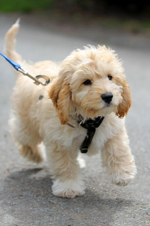 how do i get my labradoodle to stop barking f1b labradoodle