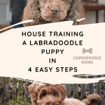 House Training A Labradoodle Puppy In 4 Easy Steps