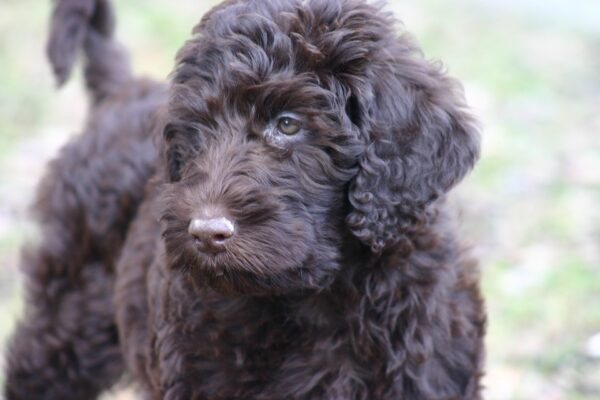 Labradoodle Lifespan training chocolate labradoodle