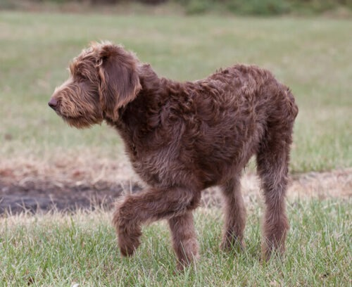why is my labradoodle shedding chocolate labradoodle English Labradoodle Temperament