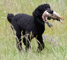 Can Labradoodles Hunt Using A Labradoodle For Hunting