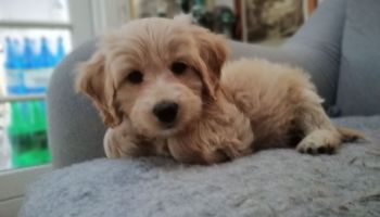 House training a labradoodle puppy when do labradoodles stop growing