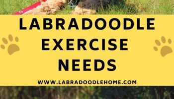 labradoodle exercise needs